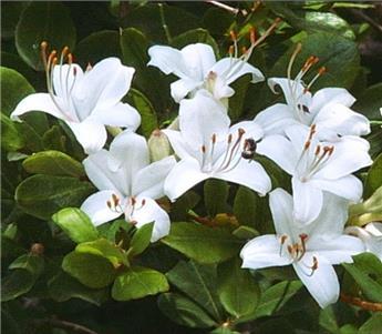 Azalea viscosa 100 125 cm
