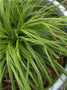 Carex everlime P17