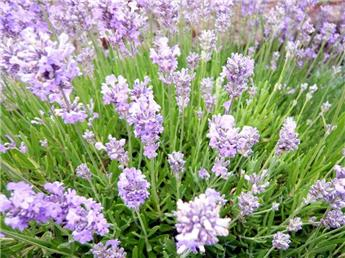 Lavandula angustifolia Little Lady c29