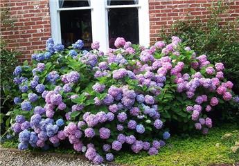 Hydrangea mac Endless Summer Rose P23