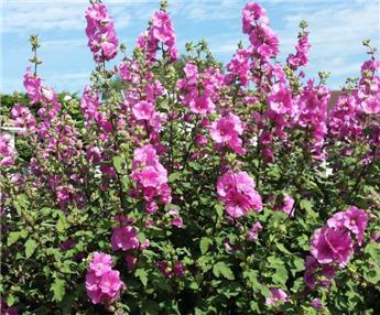 Lavatera Arborea Burgundy C.4L