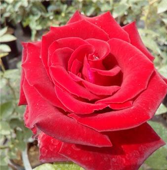 rosiers fleurs couper central jardin. Black Bedroom Furniture Sets. Home Design Ideas