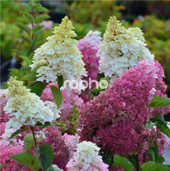 Hydrangea paniculata Fraise Melba Pot C10
