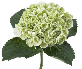 Hydrangea mac Curly Wurlys White P14