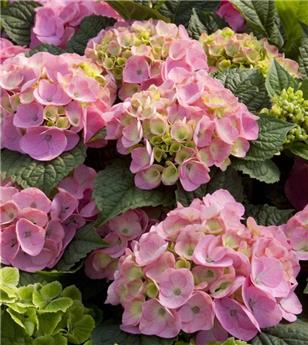 Hydrangea mac endless Bloom Star Rose Pot C12