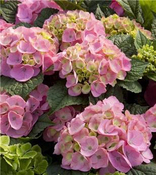 Hydrangea mac endless summer the original rose c 5