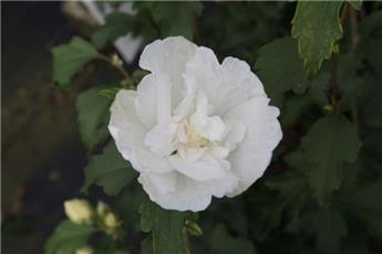 Hibiscus syriacus White Chiffon® Pot P19