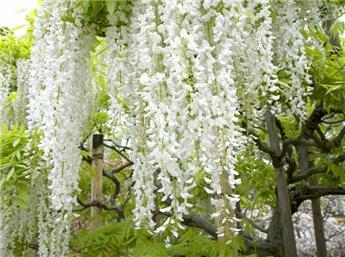 Wisteria floribunda Shiro Noda (long. alba) C5