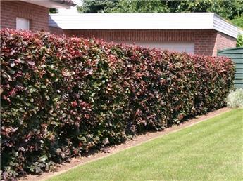 Fagus sylvatica Purpurea 125 150 Pot C5 ** En pot : se plante toute l´année **