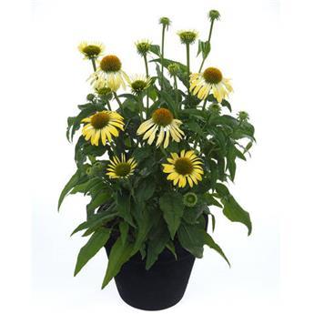 Echinacea Moodz Shiny P19