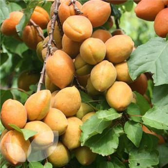 Abricotier Tros Oranje 1/4 tige *Autofertile**