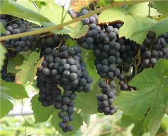 Vitis vinifera Zilga Pot C3 ** Très résistante aux maladies et au froid  **