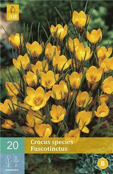 Crocus chrysanthus Fuscotinctus * 20 pc cal.5/+  ** Parfumé **