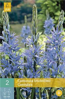 Camassia Leichtlinii Caerulea 14/+ X 2 pc