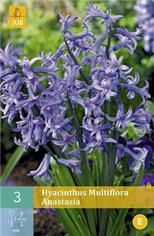 Jacinthes Multiflora Anastasia 3 PC / POT