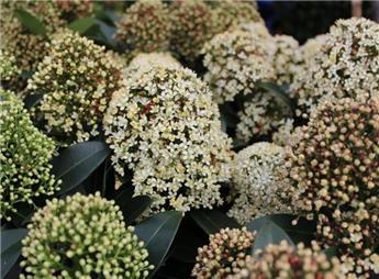 Skimmia japonica Fragrant Cloud Pot 17
