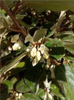 Elaeagnus ebbingei C3.5