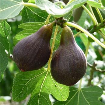 Ficus carica Osborn Prolific C.2L