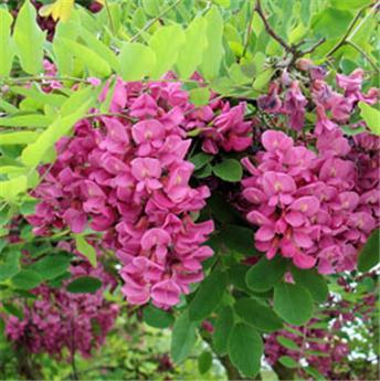 Robinia pseudoacacia Casque Rouge Demi Tige  16 18 * Tronc 160 cm
