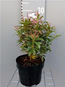 Pieris Japonica Polar Passion P21