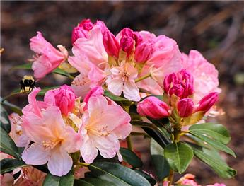 Rhododendron x Wine and Rose 50 60 Pot C5
