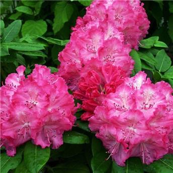 Rhododendron Germaniana 50 60 XXL Pot