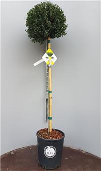 Ilex crenata Dark Green Boule / Tige 90 cm Pot P30