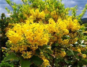 Mahonia aquifolium 30 40