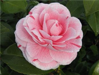 Camellia japonica Bonomiana 60