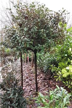Elaeagnus ebbingei tige 130 cm tête 100 à 150 cm