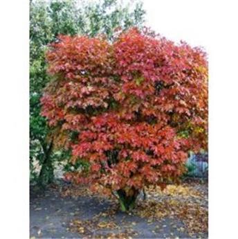 Quercus palustris Isabel 250 300 cm