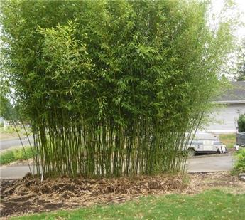 Phyllostachys bissettii C5