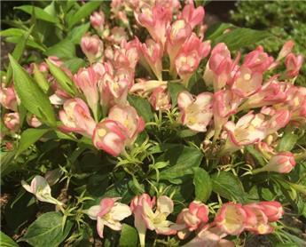 Weigela florida All Summer Peach (PBR) Pot C3.6