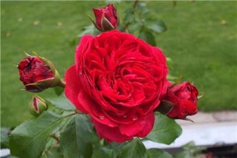 Rosier Red Leonardo Da Vinci Pot C5L