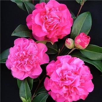 Camellia japonica Debbie sur Tige