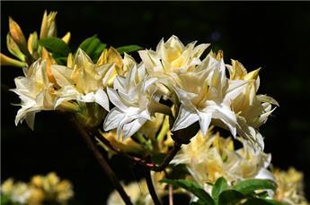 Azalea knaphill Daviesii 100 125