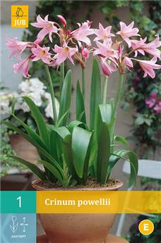 Crinum Powellii * 1 Pc