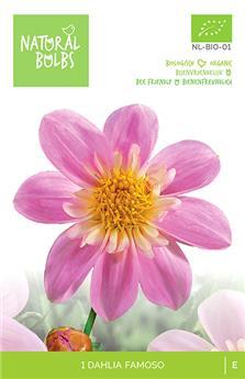 Dahlia Famoso * 1 Pc