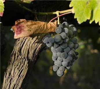 Vitis vinefera Le Nero - plantes fortes prêtes à produire *** Var. résistante aux maladies **