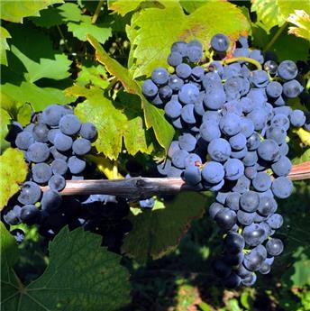 Vitis vinifera Marechal Foch Pot C2-3