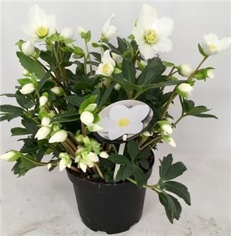 Helleborus Valentine Darling  Pot P17