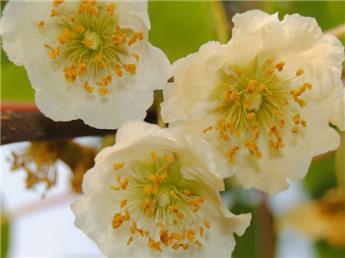 Actinidia arguta Honigbeere Kimai Male Pot C2 **Excellent pollinisateur **