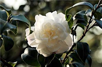 Camellia japonica Man Size (blanc) Pot C15 9 ans