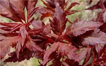 ACER palmatum ASAHI ZURU 150 175