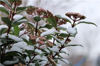 Viburnum tinus Eve Price 100 125 Pot C25-30