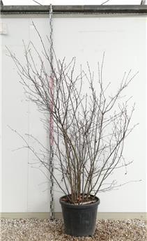 Amelanchier lamarckii cépée multi-tronc 350 400 Pot C150 ** Grosse plante exceptionnelle **