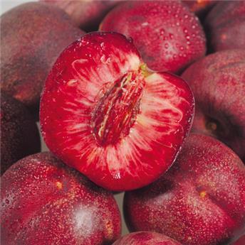 Nectarine Sanguine d´Auvergne Demi Tige Pot ** Très résistante à la cloque**