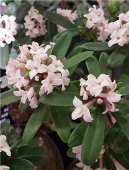 Daphne odora Eternal Fragance 20 25 cm Pot P12 ** super parfumé **
