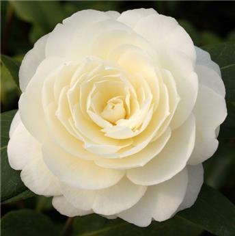 Camellia japonica Dahlonega Pot C7.5  ** 7 ans **