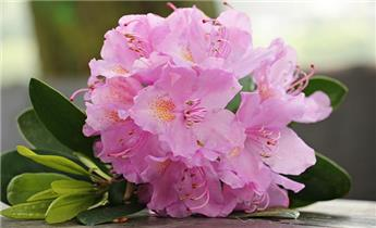 RHODODENDRON hyb. Furnival's Daughter (rose) C.15L
